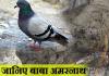 अमरनाथ के अमर कबूतर !!!