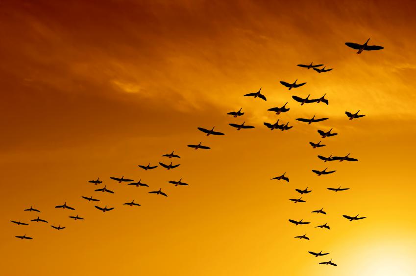 पक्षियों के V-Formation